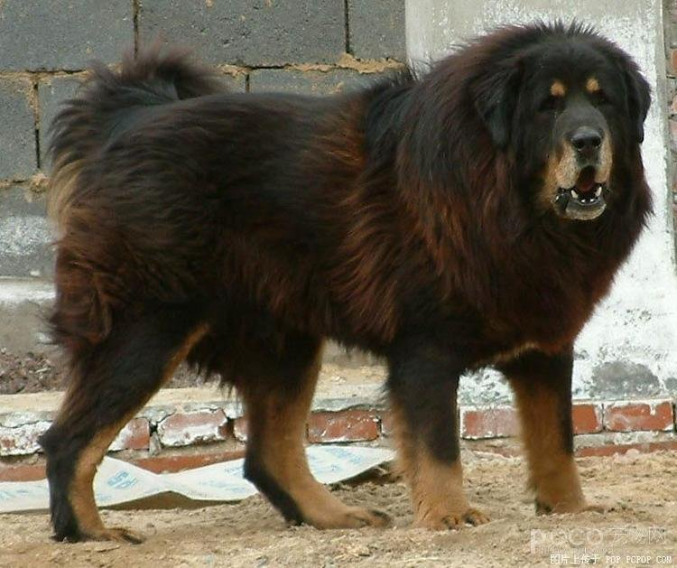 Caucasian shepherd dog angry images amp pictures becuo