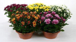 Florists' Mum and Gerbera Daisies